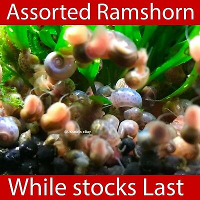 🐌50 Assorted/mixed Ramshorn snails🐌 🌱Clean up crew or Puffer Fish food 🌱