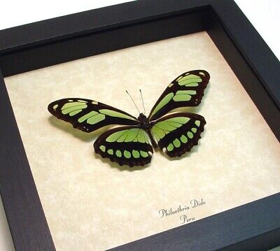 Real Framed Philaethria Dido The Scarce Bamboo Page Green Butterfly 483