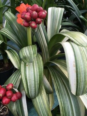 1xSeed From Clivia m. Japanese daruma wide leaf variegata. National Collection