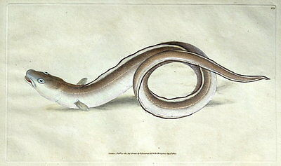 CONGER EEL,  E.Donovan original hand coloured antique FISH print 1808