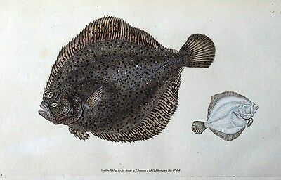 BRILL or PEARL, E.Donovan original hand coloured antique FISH print 1806