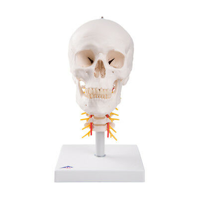 3B Scientific A20/1 Human Skull Anatomical Model on Cervical Spine, 4 parts