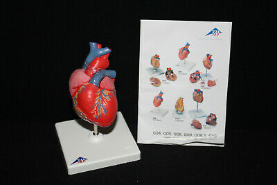 3B Scientific Classic Heart, 2 part G08 Anatomical Model Anatomy