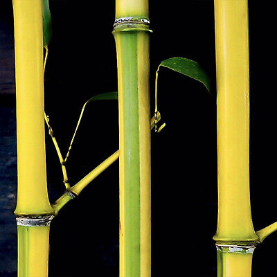 3-PACK Ornamental 'Spectabilis' Running Bamboo Rhizome/Root for Mid-Size Privacy