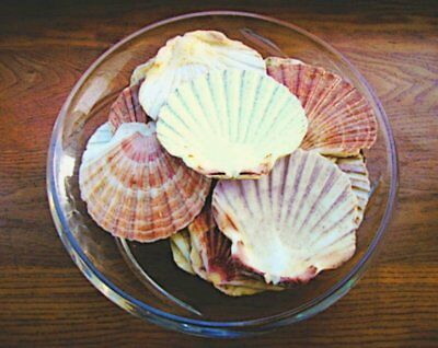 Sea shells set of 10 flat scallop shells from Ireland cooking or craft supplies