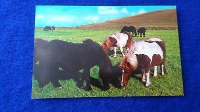 Shetland Ponies  Unused Postcard From 1970's
