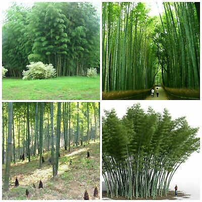 100 Graines Phyllostachys pubescens Moso Bambou,bambou géant,moso bamboo seeds