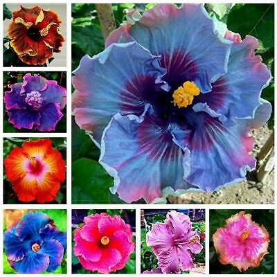 30PCS Giant Hibiscus Seeds Dinnerplate-Hibiscus Perennial-Flower