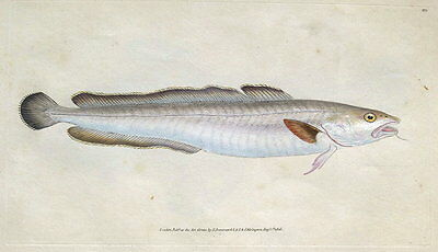 LING, Donovan original hand coloured antique FISH print 1808