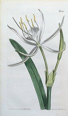 AMERICAN PANCRATIUM Curtis Original Hand Coloured Antique Botanical Print 1808