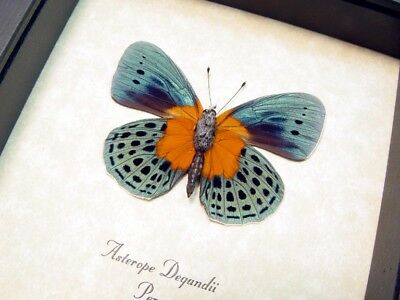 Real Framed Asterope Degandii Orange Blue Spotted Verso Butterfly 6253