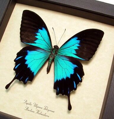 Real Framed Papilio Ulysses Telegonis Rare Metallic Blue Butterfly 118