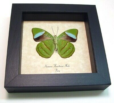 Real Framed Nessaea Hewitsoni Rare Male Hewitson's Olivewing Verso Butterfly 648