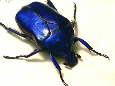 Real Framed Torynorrhina Flammea Violets Sapphire Blue Flower Beetle 2149