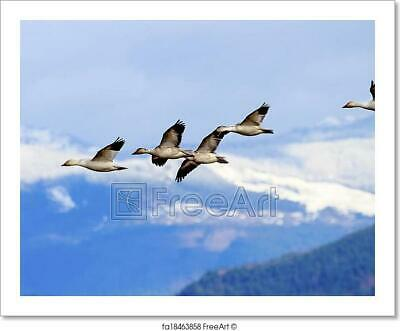 Snow Geese Flying Mountains Skagit Valley Art Print Home Decor Wall Art Poster