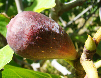 Fig Tree FICUS CARICA Babits, large fruited with red flesh, SELF FERTILE 15cm