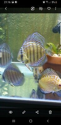DISCUS FISH FOR Sale 5cm All Uk Bred No Imports Fully Licenced