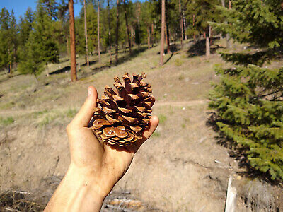 25 Ponderosa Pine Cones - Foraged from the wild mountains of Montana