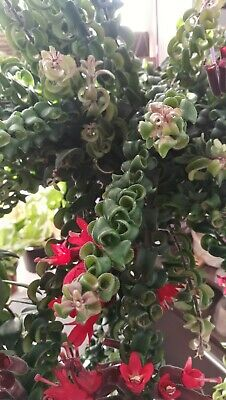 AESCHYNANTHUS TWISTER Cutting Esqueje 20 cm Hanging LIPSTICK PLANT Red Flowers