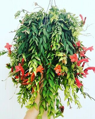 AESCHYNANTHUS JAPHROLEPIS 3 x Cuttings Esquejes Hanging LIPSTICK PLANT Red