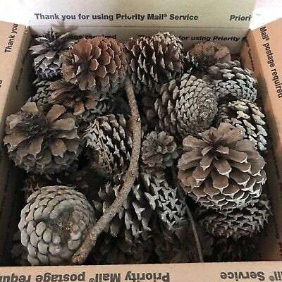 Pine Cones Natural Real Jumbo Crafts Decor Wreaths  Pennyslvania 40-48 Count