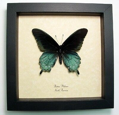 Real Framed North American Blue Green Pipevine Swallowtail Butterfly 548