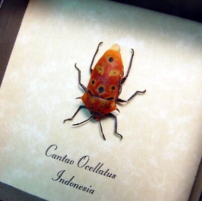 Real Framed Cantao Ocellatus Orange Spiked Conehead Man Face Beetle 8503