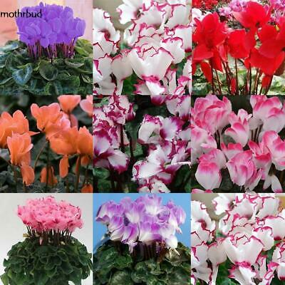 New Nice Adorable Flower Fragrant Seeds Fragrant Blooms Cyclamen Seeds M5BD 02