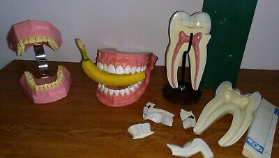 Large Nissin 705 Vintage Anatomy Human Tooth Teeth Denture Model Medical Display