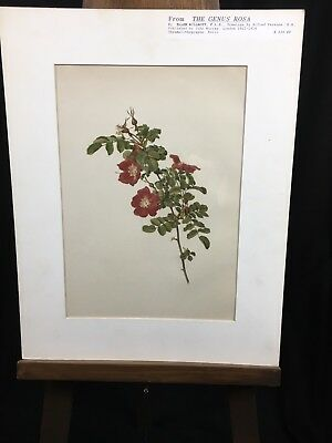 Ellen Willmott Rose By Alfred Parsons Chromolithograph 1912-14 The Genus Rosa