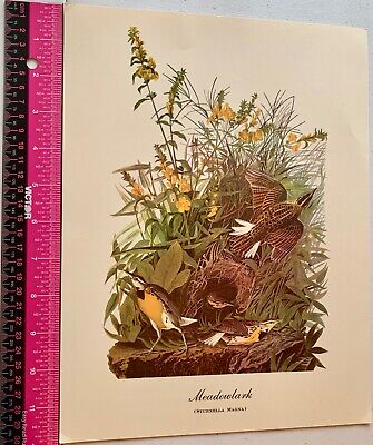 Vintage Fine Art Work Print of Meadowlark ( Sturnella Magna )  Bird Watchers