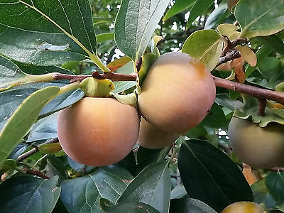 2x Sharon Fruit Tree Japanese Persimmon DIOSPYROS KAKI, sweet large fruits hardy