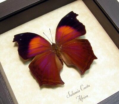Real Framed Salamis Cacta Male Lilac Mother-of-Pearl Butterfly 422