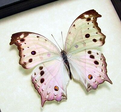 Real Framed Salamis Parhassus Male Mother Of Pearl Butterfly 200