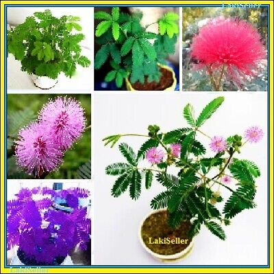 100Pcs Rainbow Mimosa Flower Seeds Home Garden Plants Multi-Color Mix NEW RARE !