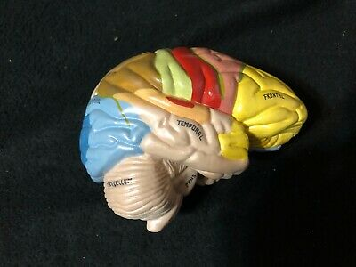 Replacement Brain for Medical Plastics Laboratory Skele-Torso Anatomical Model
