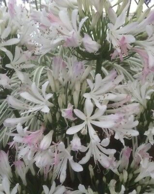 Agapanthus 'Strawberry Ice' 9cm. Very Hardy. National Collection Holders