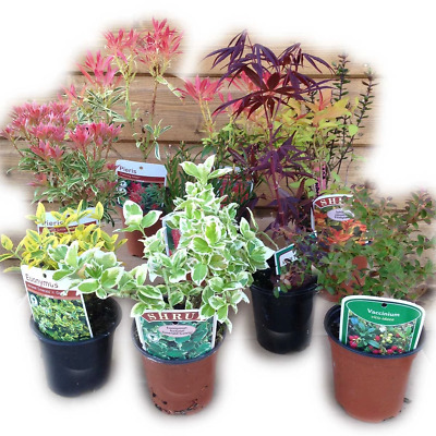 12 Mixed Shrubs - in Pots - Great Value - Easy to Grow (not small plug plants)