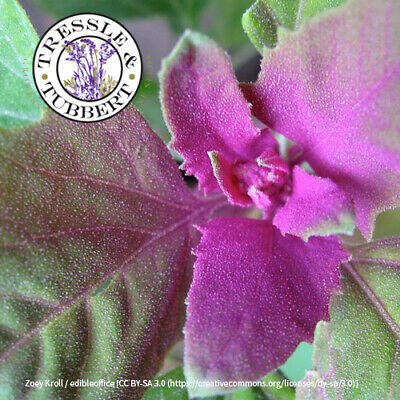 Rare Tree Spinach Chenopodium giganteum approx 200 seeds UK SELLER