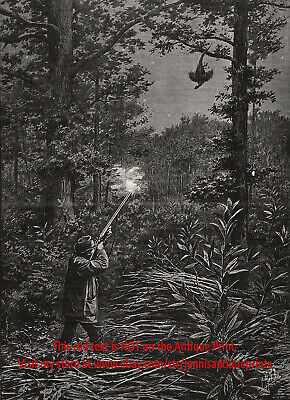 Firearms Pheasant Hunting Moment of Kill Good Shot, Large 1890s Antique Print