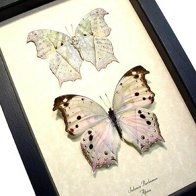 Real Framed Salamis Parhassus Butterfly Pair 200p
