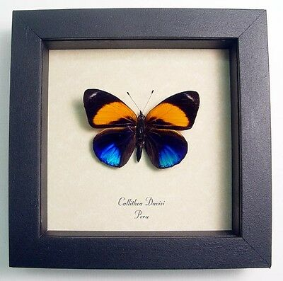 Real Framed Callithea Davisi Orange and Metallic Blue Butterfly 393