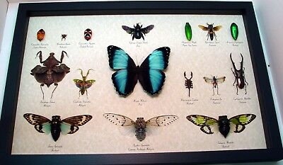 Real Framed Butterflies – Insect Collection Museum Display 16 Specimens 8019