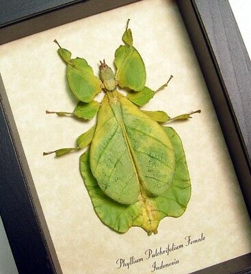 Real Framed Phyllium Pulchrifolium Female Giant Leaf Insect 7981