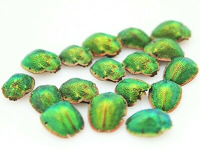 Antique Scarab Beetle Genuine Real Insect Jewellery Component Findings