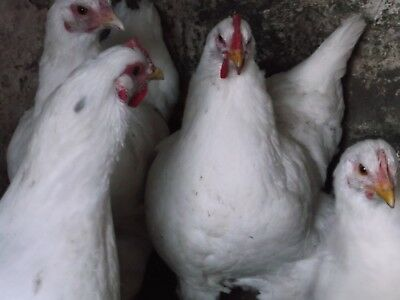 White Jersey Giant hatching eggs x6 large fowl