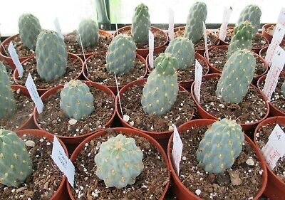 OPUNTIA MIQUELII - lovely frosty green bodies !