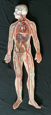 3B Scientific G30 Circulatory System Anatomical Teaching Anatomy Model G 30