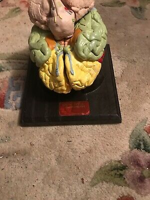 Vintage Denoyer Geppert  Brain Model 5-Part Anatomical Model