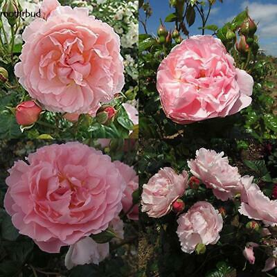 10/30/50 Lots Rose red Climbing Rose Seeds Perennial Flower Garden Decor Seeds